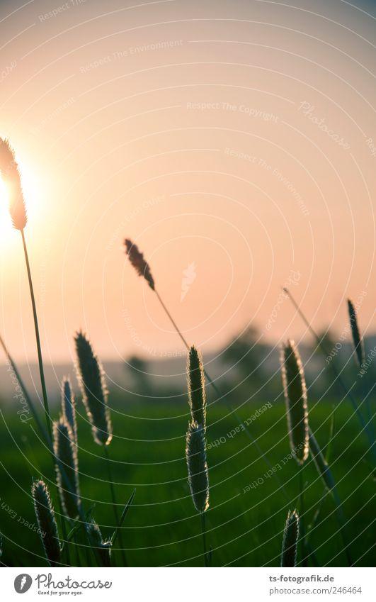 Sonnenanbeter Umwelt Natur Landschaft Pflanze Luft Himmel Wolkenloser Himmel Sonnenaufgang Sonnenuntergang Sonnenlicht Frühling Sommer Schönes Wetter Gras Wiese