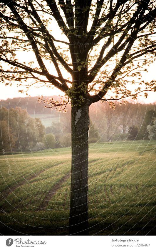 Ackerrandbewohner Umwelt Natur Landschaft Pflanze Urelemente Erde Sonnenaufgang Sonnenuntergang Frühling Schönes Wetter Baum Gras Feld frisch natürlich braun