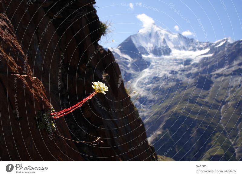 Blume im Sonnenstrahl Natur Wildpflanze Felsen Alpen Berge u. Gebirge Kanton Wallis Schneebedeckte Gipfel Gletscher ruhig Farbfoto Außenaufnahme Menschenleer