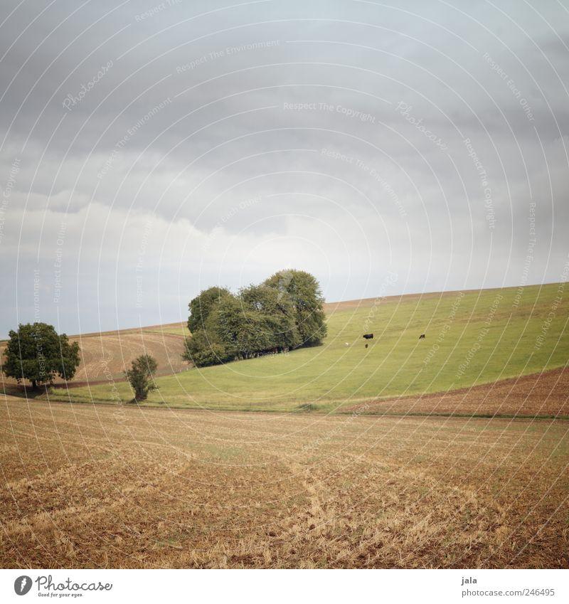 wiese & felder Umwelt Natur Landschaft Pflanze Tier Himmel Baum Gras Sträucher Grünpflanze Nutzpflanze Wiese Feld Kuh Tiergruppe natürlich blau braun grün