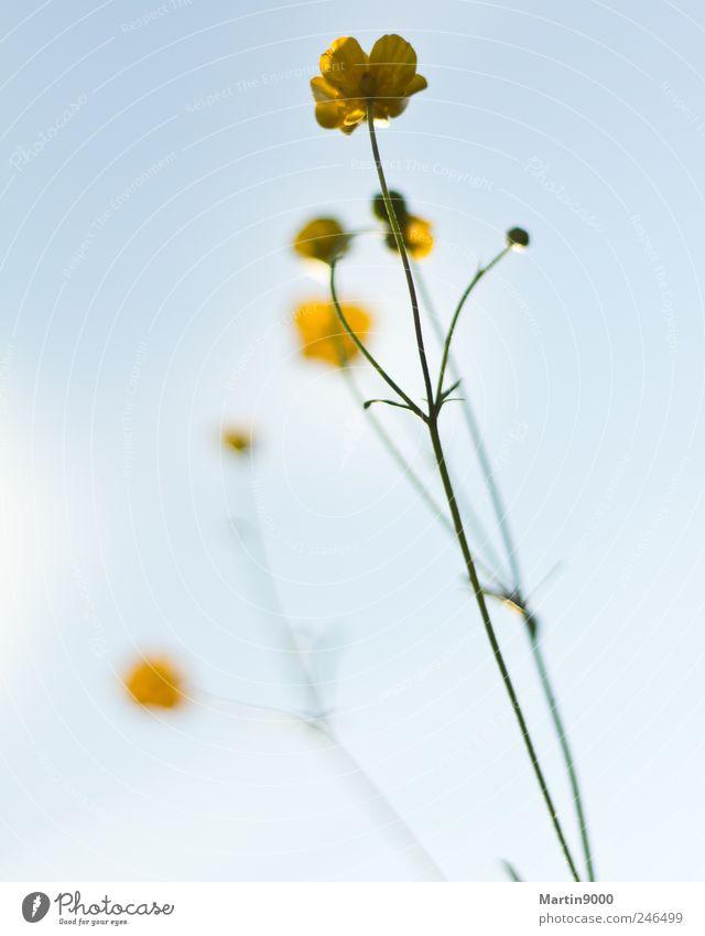 Hahnenfuss auf Wiese Natur Pflanze gelb Freiheit Blüte hell Feld Fröhlichkeit Stolz Schönes Wetter Optimismus selbstbewußt bescheiden