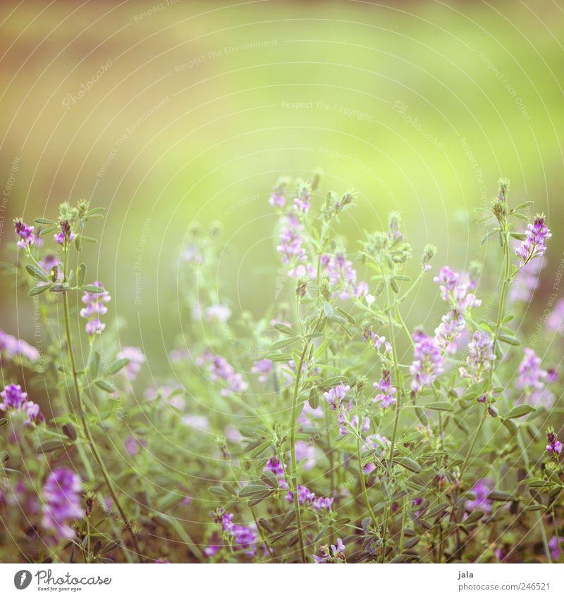 sonnentag Umwelt Natur Pflanze Sommer Blume Gras Blatt Blüte Wildpflanze Wiese Kitsch natürlich schön grün violett Farbfoto Außenaufnahme Menschenleer