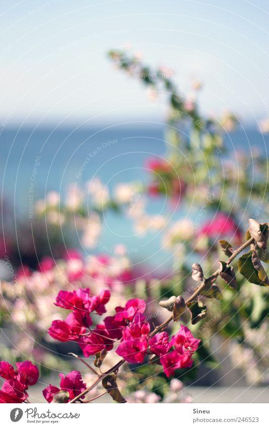 Bougainville Natur schön Pflanze Sommer Meer Ferien & Urlaub & Reisen ruhig Einsamkeit Erholung Garten Park Zufriedenheit rosa Insel Wachstum natürlich