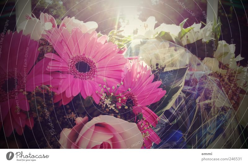 Sonnenblumen Sonnenlicht Schönes Wetter Blume Blumenstrauß Duft elegant Freundlichkeit hell schön rosa Glück Fröhlichkeit Romantik Gerbera Gesteck Farbfoto