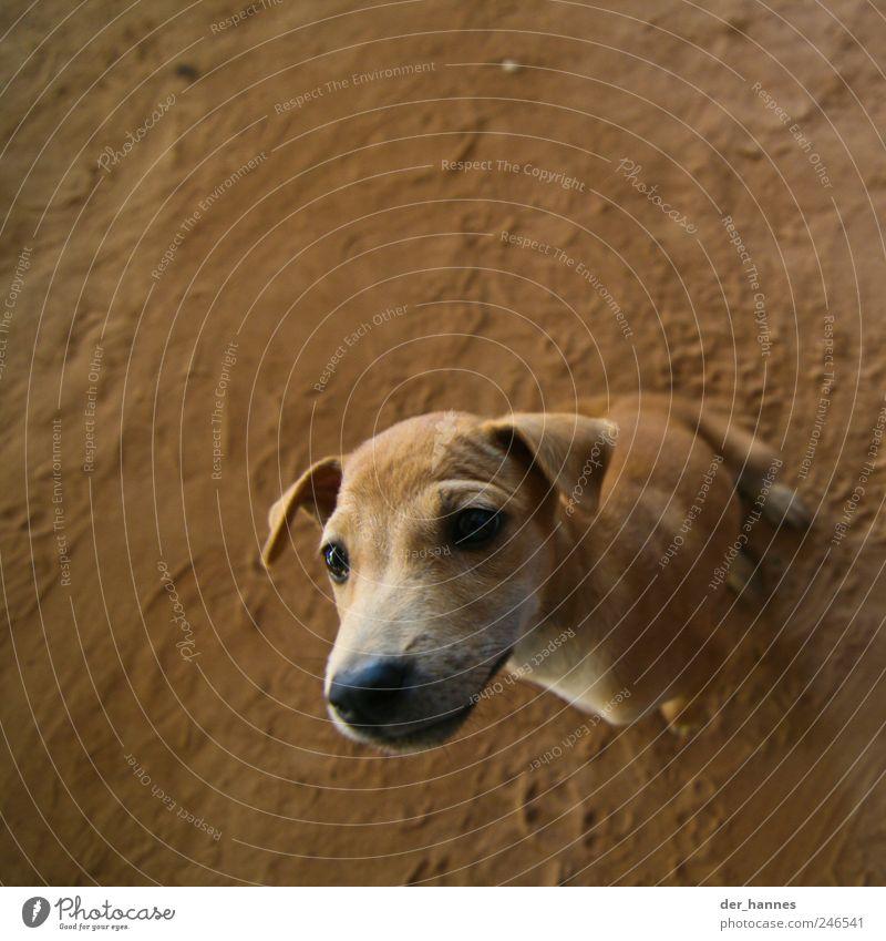 Spürnase Tier Haustier Hund Tiergesicht Schnauze Hängeohr 1 Tierjunges beobachten frech Neugier braun Interesse Überraschung Farbfoto Nahaufnahme Menschenleer