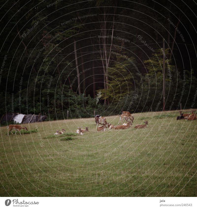 wild Umwelt Natur Landschaft Pflanze Tier Baum Gras Grünpflanze Wildpflanze Wiese Wald Reh Hirsche Hirschkuh Tiergruppe Herde natürlich Farbfoto Außenaufnahme
