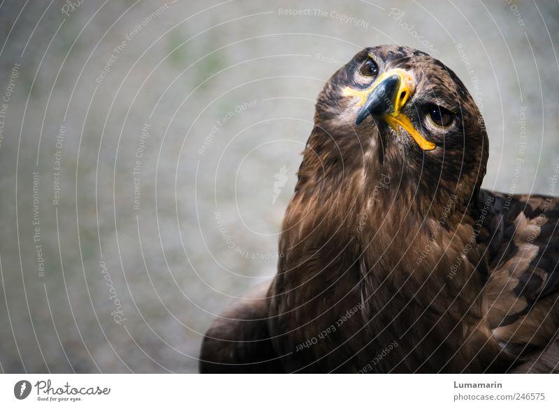Aufbruch Umwelt Tier Wildtier Vogel Tiergesicht 1 beobachten Blick sitzen warten ästhetisch frei groß nah schön stark wild Stimmung Kraft Willensstärke Mut