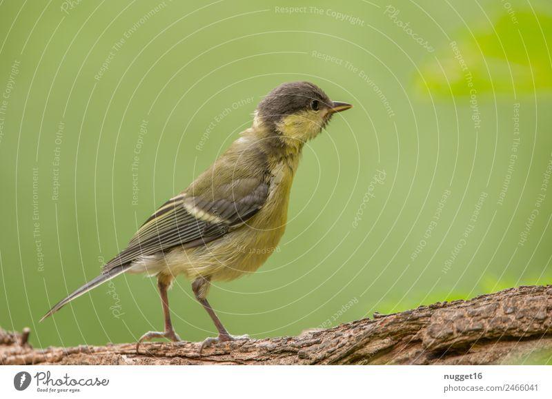 junge Kohlmeise Umwelt Natur Tier Sonne Frühling Sommer Herbst Klima Wetter Schönes Wetter Pflanze Baum Ast Garten Park Wald Wildtier Vogel Tiergesicht Flügel