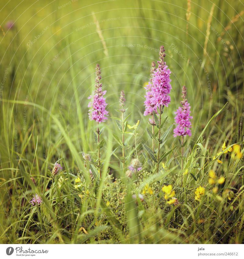 weiderich Natur grün Pflanze Blume Wiese Landschaft Blüte Gras Umwelt rosa ästhetisch wild natürlich Grünpflanze Wildpflanze