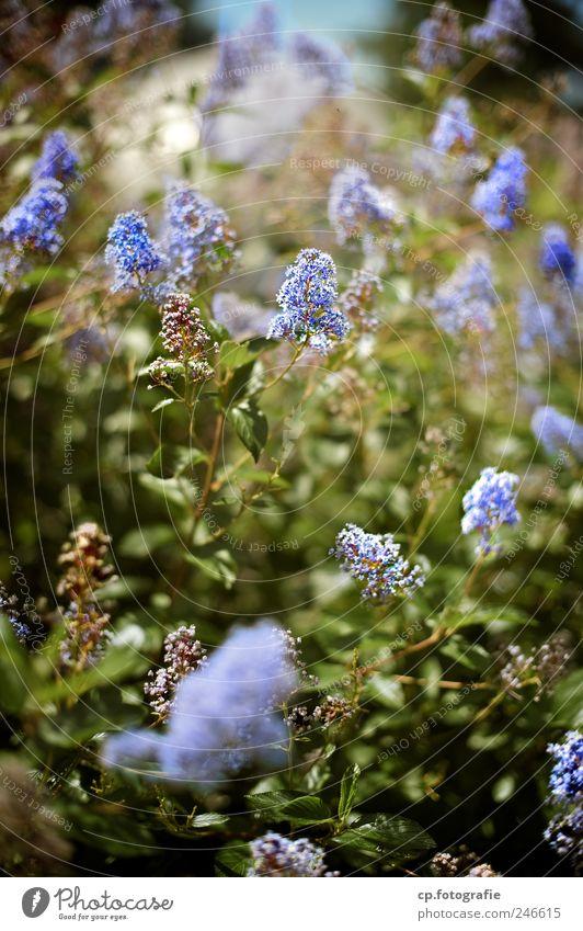 blaue Blütenpracht Natur Pflanze Blatt Garten Park natürlich Sträucher Schönes Wetter Grünpflanze