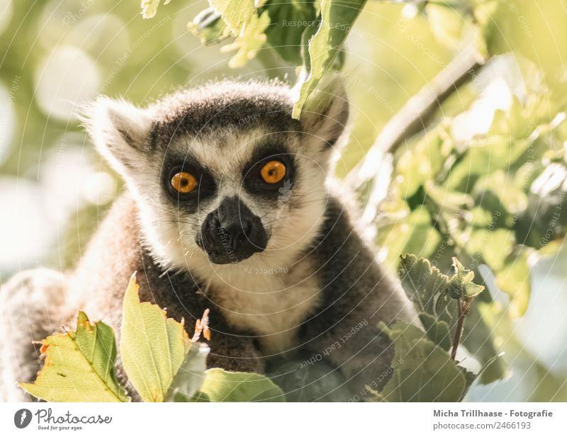 Erstaunter Blick Natur Tier Sonne Sonnenlicht Schönes Wetter Baum Blüte Wald Wildtier Tiergesicht Fell Affen Katta Halbaffen Auge Ohr Nase 1 beobachten glänzend