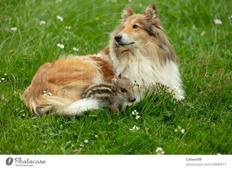 Collie Hündin mit Frischling schön Spielen Baby Freundschaft Natur Tier Frühling Gras Wiese Wildtier Hund 2 Tierpaar Tierjunges liegen klein lustig niedlich