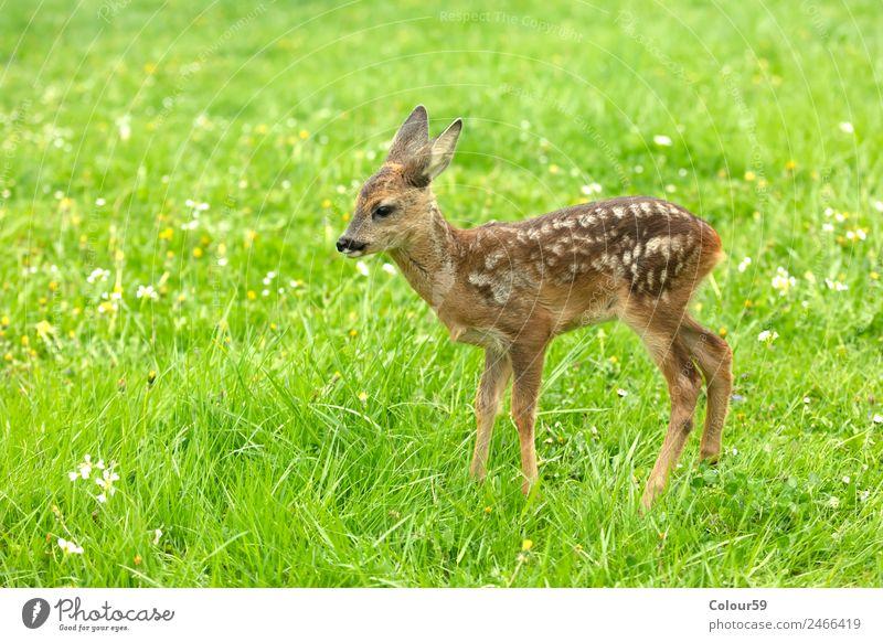 Rehkitz schön Sommer Baby Natur Tier Frühling Gras Park Wiese Feld Wildtier 1 Tierjunges stehen niedlich braun grün Kitz Hirsche Säugetier Bambi Odocileus