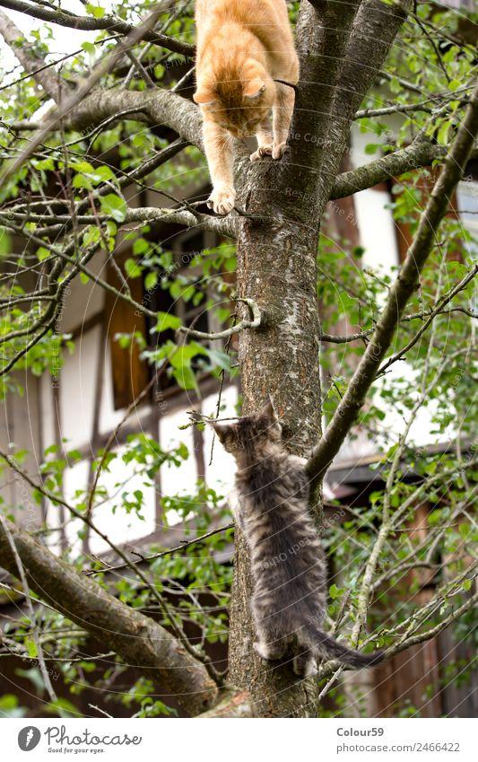 Spielende Katzen Klettern Bergsteigen Natur Tier Baum Fell Haustier 2 Tierjunges beobachten krabbeln Zusammensein lustig Neugier niedlich oben grau rot
