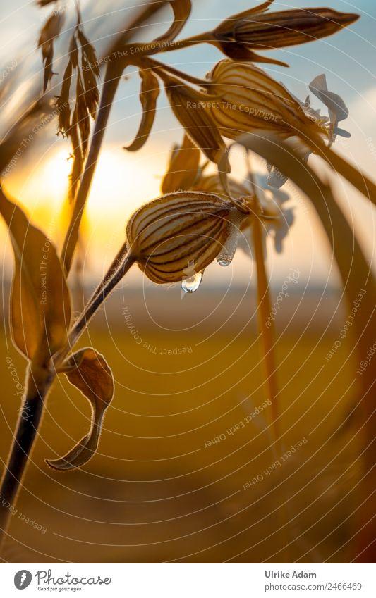 Weiße Lichtnelke (Silene latifolia) Design harmonisch Trauerkarte Trauerfeier Beerdigung Natur Pflanze Sommer Herbst Blume Blatt Blüte Wiese Feld Blühend