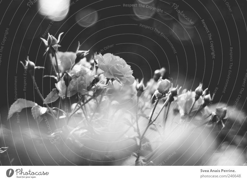 grauer kitsch. Natur Pflanze Blume Umwelt Park Rose Blühend Freundlichkeit Schönes Wetter Dorn
