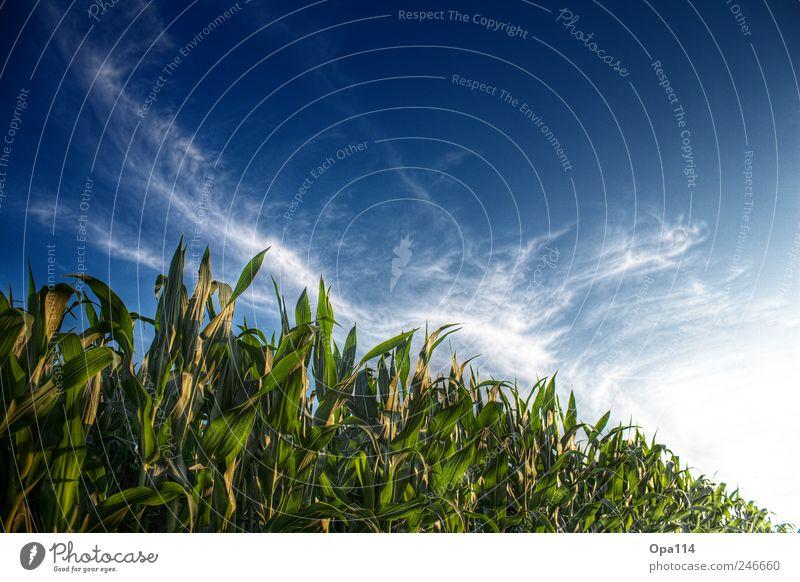 Maisfeld Umwelt Natur Landschaft Pflanze Tier Himmel Wolken Sonne Sonnenlicht Sommer Schönes Wetter Nutzpflanze Feld Blühend leuchten Wachstum Unendlichkeit