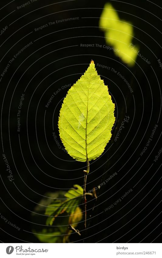 Blätterleuchten Natur grün Pflanze Sommer Blatt schwarz frisch ästhetisch natürlich außergewöhnlich Spitze Zweig vertikal strahlend Blattadern