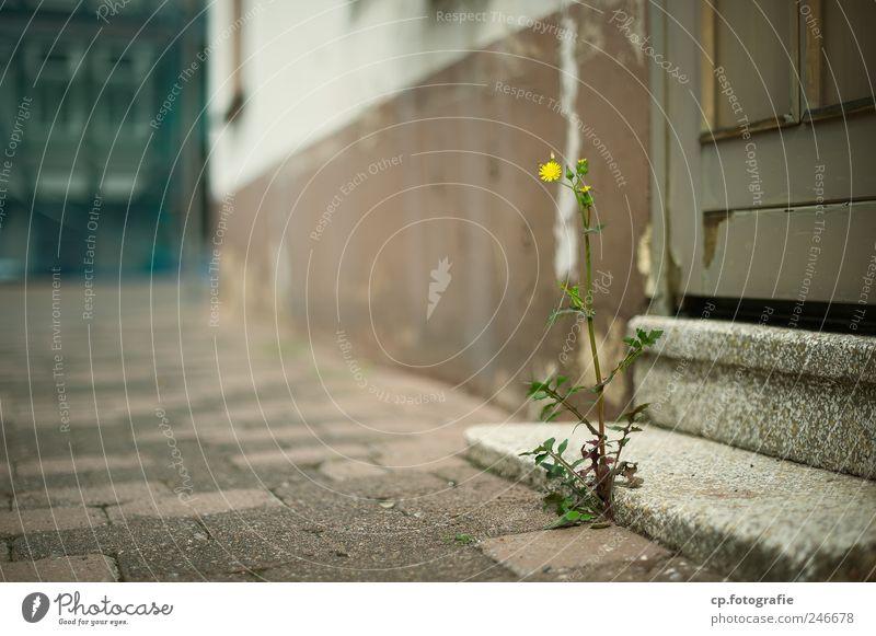 Treppenblümchen Pflanze Blume Haus Wand Blüte Mauer Treppe Schönes Wetter schlechtes Wetter Gebäude Kleinstadt