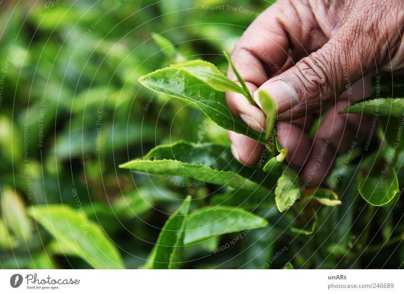 Teeblätter Mensch grün Hand Pflanze Blatt Erwachsene Finger Sträucher 45-60 Jahre Nutzpflanze