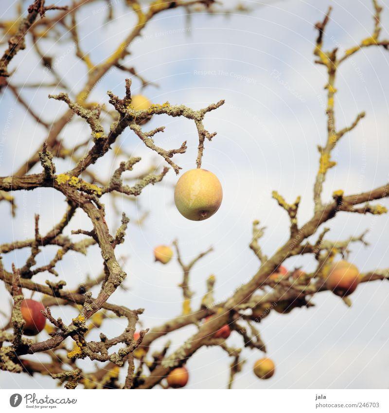 mit letzter kraft... Lebensmittel Bioprodukte Vegetarische Ernährung Umwelt Natur Pflanze Himmel Baum Nutzpflanze Ast Frucht Apfel Apfelbaum alt stark Farbfoto
