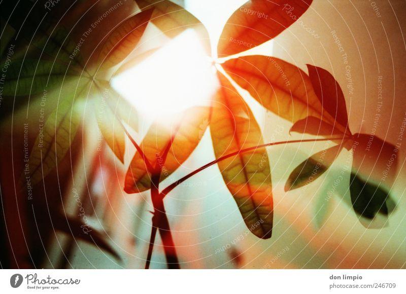 lass den herbst kommen Dekoration & Verzierung Sommer Herbst Pflanze Blatt Grünpflanze Topfpflanze leuchten Wachstum exotisch hell rot Warmherzigkeit Farbe