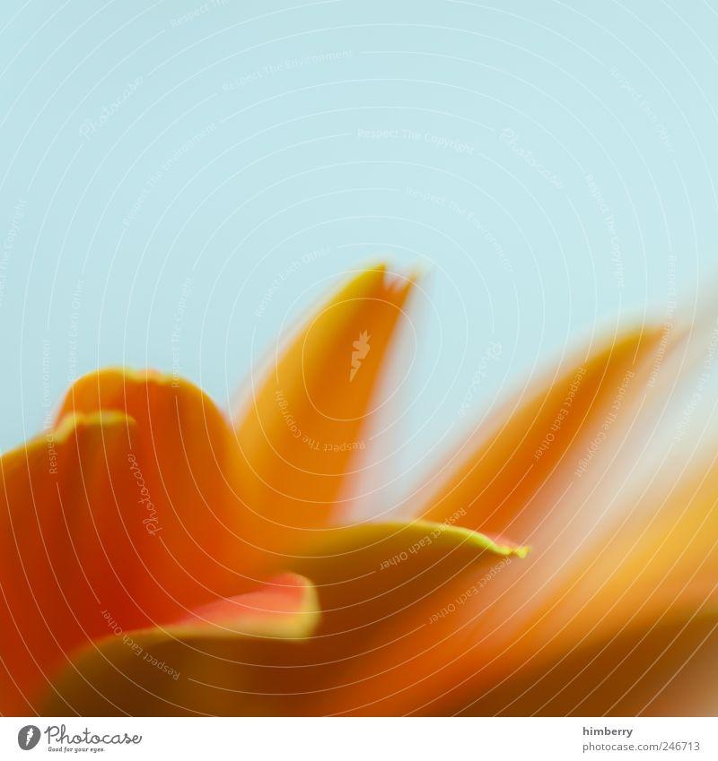 orange flavour Natur Ferien & Urlaub & Reisen Pflanze schön Sommer Blume Erholung Blatt Umwelt Blüte Frühling Wachstum frisch Vergänglichkeit Duft Meditation