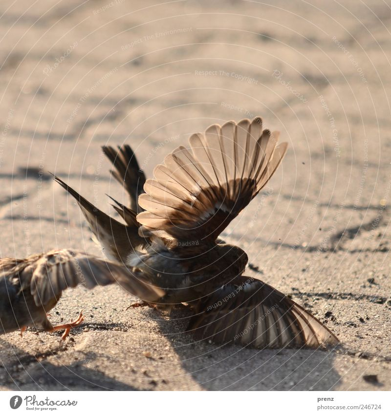 balgerei Tier Spielen grau braun Vogel Wildtier Flügel Fußweg kämpfen Spatz flattern durchscheinend