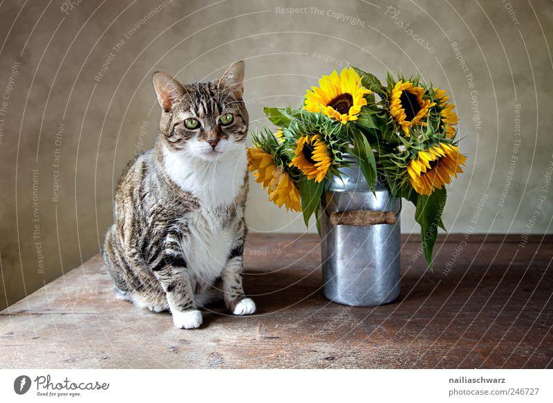 Katze mit Sonnenblumen Natur Pflanze Sommer Blume Tier gelb Holz Blüte Metall braun gold sitzen ästhetisch beobachten Stillleben