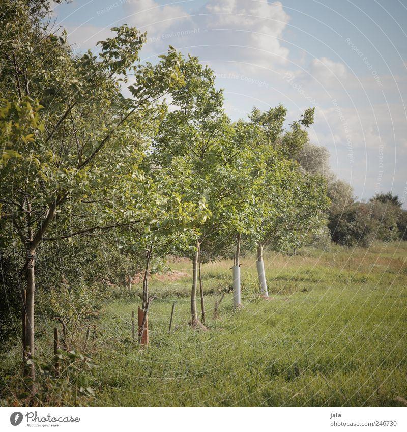 obstbäume Umwelt Natur Pflanze Himmel Baum Gras Grünpflanze Nutzpflanze Obstbaum natürlich blau grün Farbfoto Außenaufnahme Menschenleer Tag