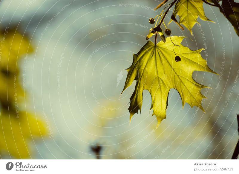Letztes Grün vor Gelb und Rot Himmel Natur Baum grün blau Sommer Blatt Herbst braun frisch Wachstum Vorfreude Ahorn Ahornblatt