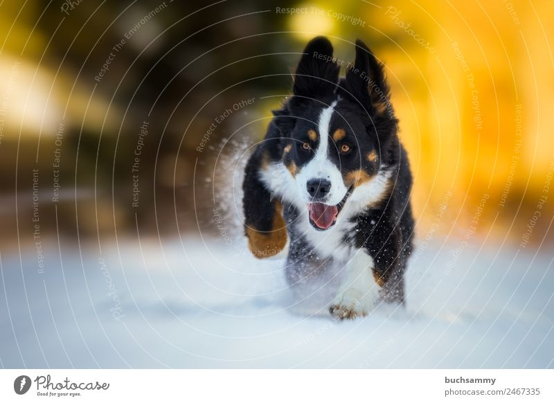 Junger Berner Sennenhund im Schnee Winter Natur Tier Haustier Hund 1 rennen Spielen Coolness Fröhlichkeit gelb schwarz weiß Kraft Freizeit & Hobby Freude