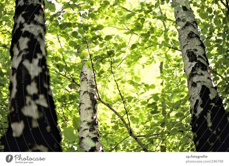 Birkengruppe Natur Pflanze Sonnenlicht Sommer Schönes Wetter Baum Blatt hell Farbfoto Tag Sonnenstrahlen Gegenlicht