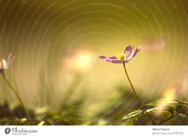 Frühlingserinnerungen Natur Pflanze Blume Blatt Blüte Garten Wiese Blühend Wachstum hell nah natürlich gelb grün violett Frühlingsgefühle Beginn Gefühle Idylle