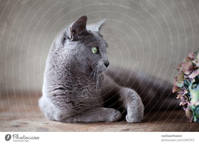 Russisch Blau Pflanze Blume Tier grau Katze braun elegant liegen ästhetisch Tiergesicht Neugier niedlich silber Haustier kurzhaarig Hortensie