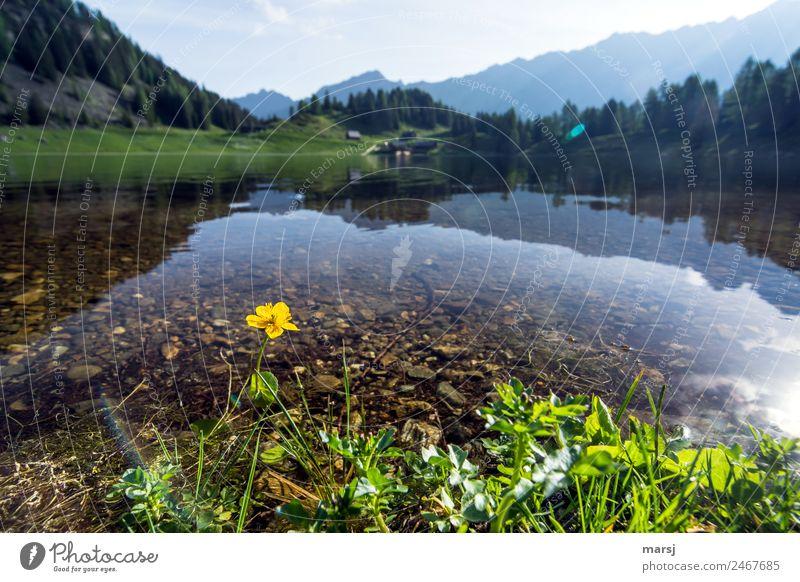 Einsame Almbewohnerin harmonisch Erholung ruhig Ferien & Urlaub & Reisen Tourismus Ausflug Freiheit Berge u. Gebirge wandern Natur Pflanze Frühling Blume