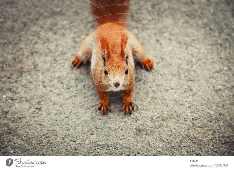 Ü-Tier Erde Fell Wildtier Tiergesicht 1 klein lustig Neugier niedlich schön grau rot Interesse Eichhörnchen Nagetiere Boden Mitte frontal Ohr tierisch Farbfoto