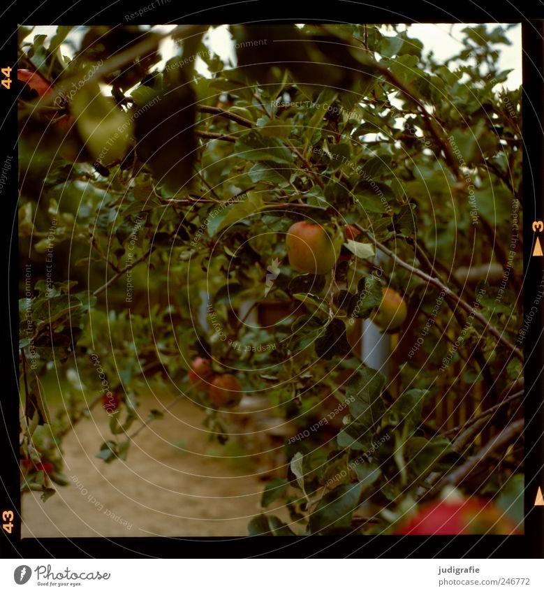 Garten Lebensmittel Frucht Ernährung Bioprodukte Umwelt Natur Pflanze Sommer Baum Apfelbaum Wachstum Farbfoto Gedeckte Farben Außenaufnahme Menschenleer