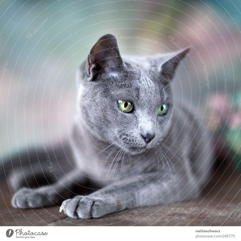 Russisch Blau blau Tier Katze elegant liegen ästhetisch niedlich Haustier Russisch