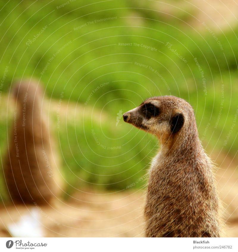 Schnauzmännchen Natur grün ruhig Tier Gras Freiheit braun Erde stehen Ausflug niedlich streichen Gelassenheit Fell Wachsamkeit Jagd