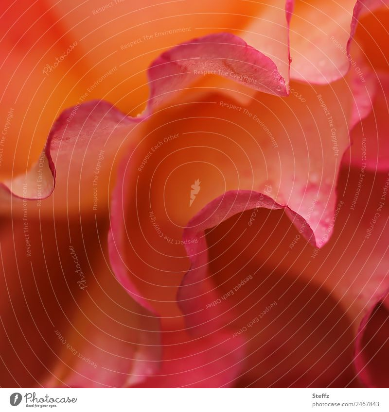 Rosenduft Natur Sommer Pflanze schön Blume rot Blüte Garten Park elegant frisch Blühend einzigartig Romantik Duft