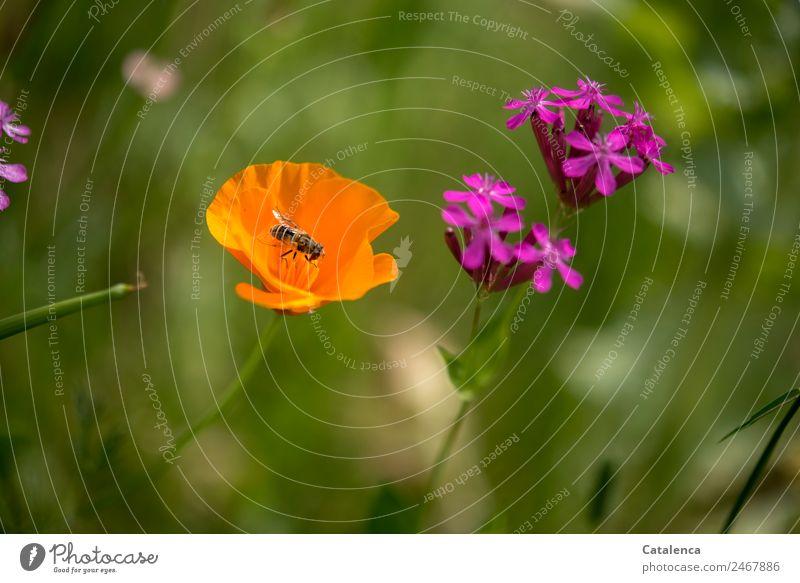 Schwebefliege im orangenem Mohn Natur Pflanze Tier Sommer Blume Gras Blatt Blüte Wildpflanze Garten Wiese Fliege Mistbiene 1 Blühend Duft Fressen authentisch