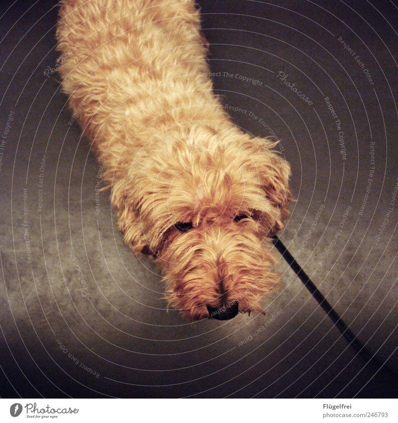 Intensives Dackelblicktraining Auge Tier Hund klein Eisenbahn süß weich Fell Haustier Schnauze beige Hundeleine betteln