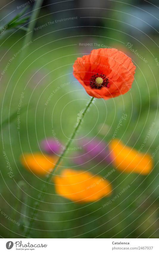 Mohn am Dienstag Natur Pflanze Sommer Blume Gras Blatt Blüte Mohnblüte Klatschmohn Garten Wiese Blühend schön grün violett orange rot Stimmung Fröhlichkeit