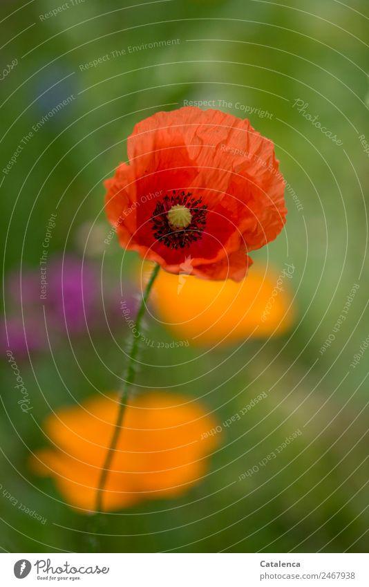 Mohntag Natur Pflanze Sommer Blume Blüte Klatschmohn Garten Blühend verblüht schön grün orange rosa rot Stimmung Fröhlichkeit Farbe ästhetisch Design Wachstum