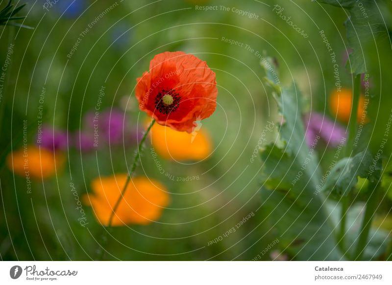 Mohn Tag wieder Natur Pflanze Sommer Blume Blatt Blüte Mohnblüte Klatschmohn Garten Wiese Blühend verblüht Wachstum schön blau grün violett orange rot Stimmung