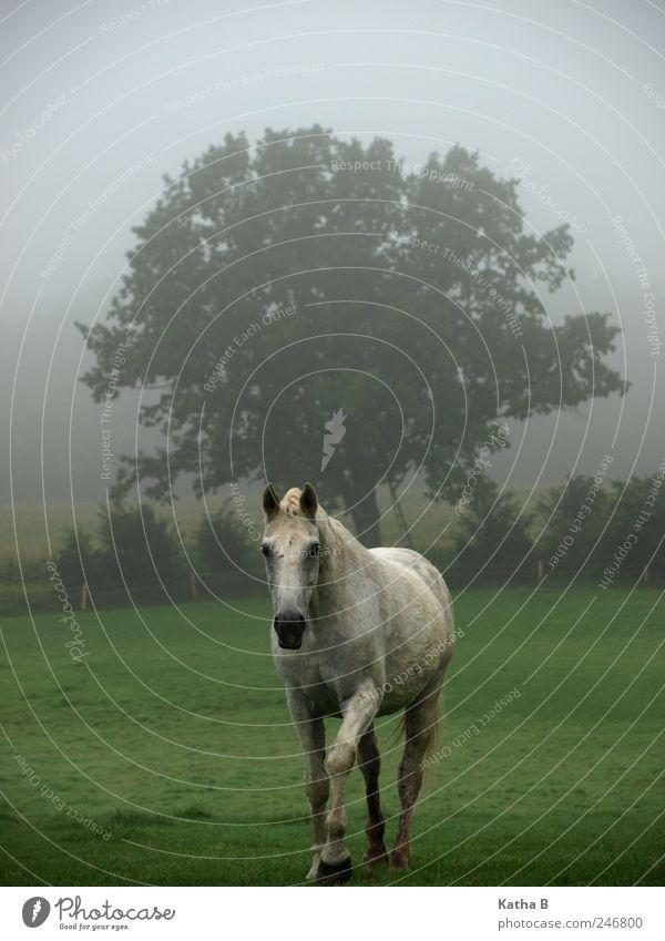 Raus aus der Dämmerung Baum Tier Wiese Feld gehen Nebel Pferd Vertrauen Bauernhof Weide Schimmel Sympathie Reitsport Reiten Landwirtschaft Tierliebe