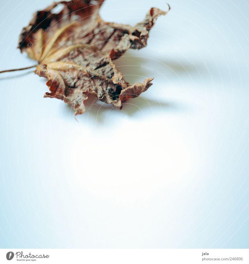 laub alt weiß blau Pflanze Blatt braun Ahorn Ahornblatt