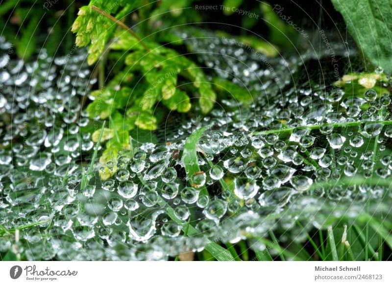 Tropfen im Spinnennetz Umwelt Natur Pflanze Wasser Wassertropfen Regen Gras Sträucher Wiese Flüssigkeit nass natürlich grün Tau Farbfoto Außenaufnahme