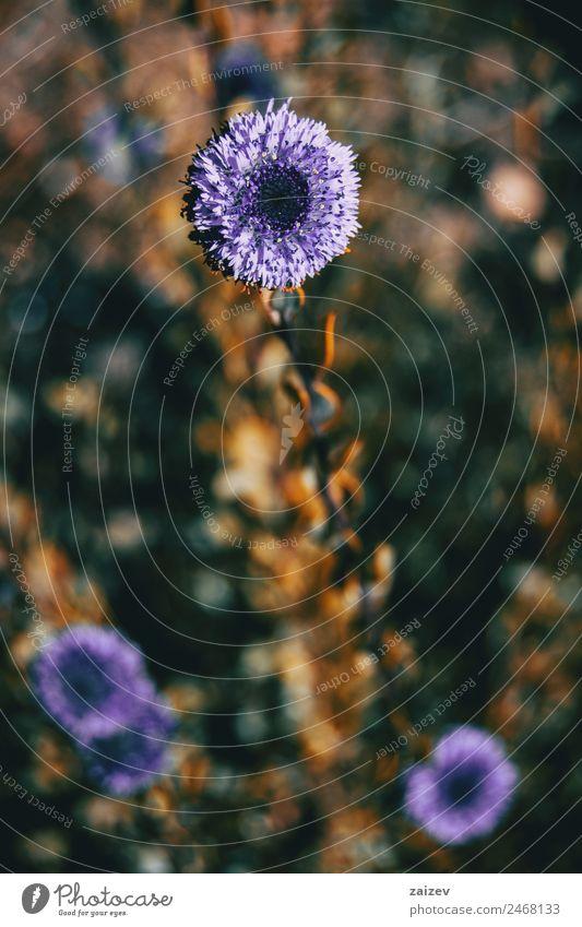 Nahaufnahme einer Fliederblüte von Globularia alypum mit Sonnenuntergangslicht in der Natur schön Sommer Garten Umwelt Pflanze Blume Blatt Blüte Grünpflanze